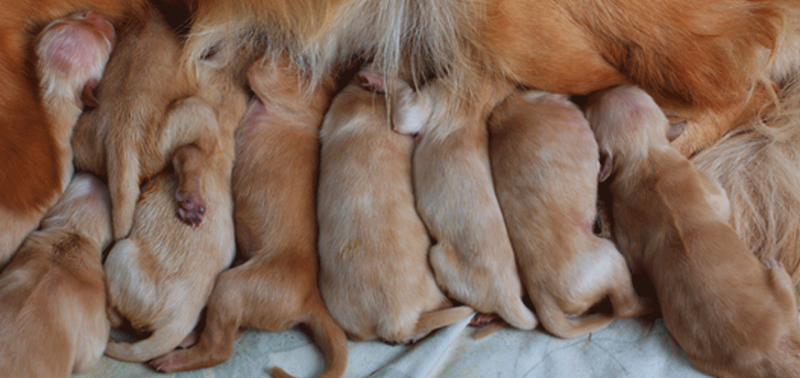 How To Care For Newborn Puppies Right After Delivery