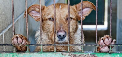 The Concerning Welfare Issues of Modern Dog Breeding