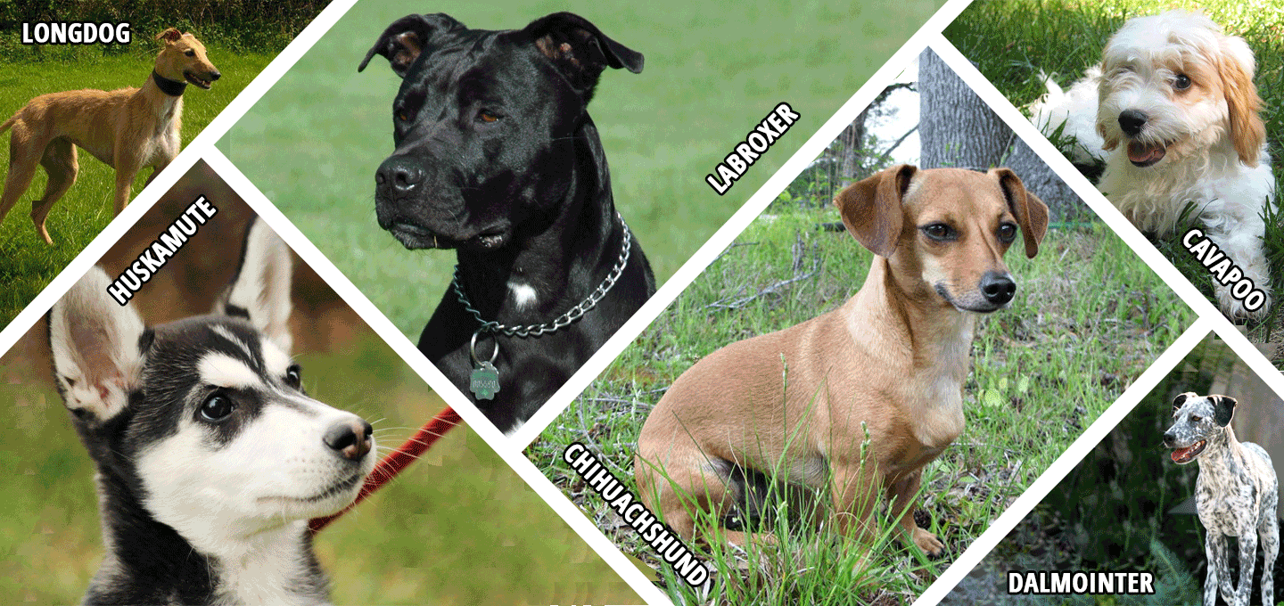Hybrid Dog Breeds With Their Name Mix