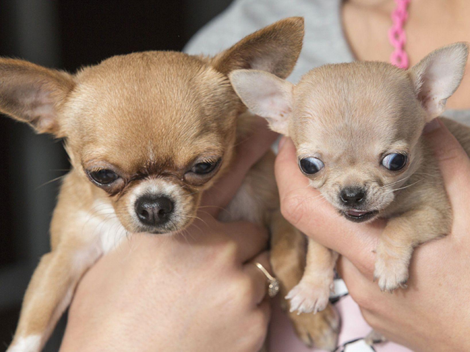 Toudi, the world's smallest dog (chihuahua)