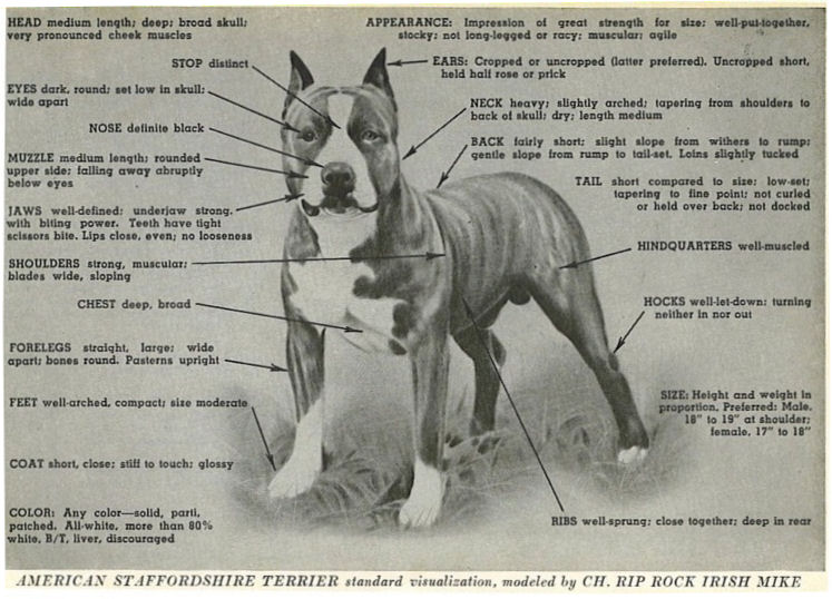 American Staffordshire Terrier Standard Modeled by CH. RIP ROCK
