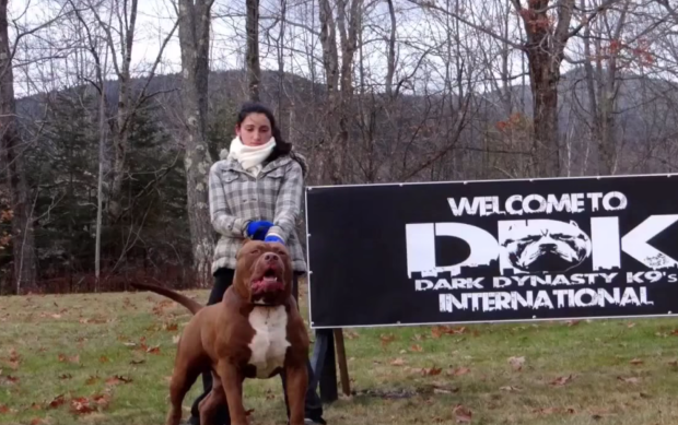 $20,000 stud fees charged for Hulk, the World's Largest Pitbull