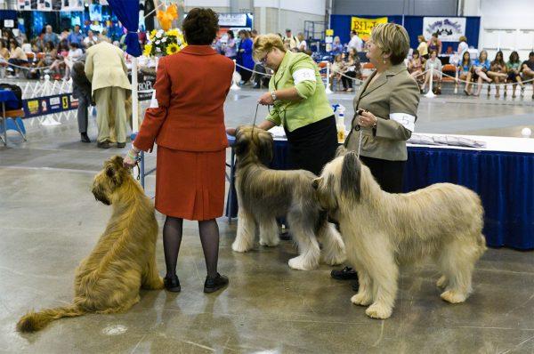 Briard Dog Show