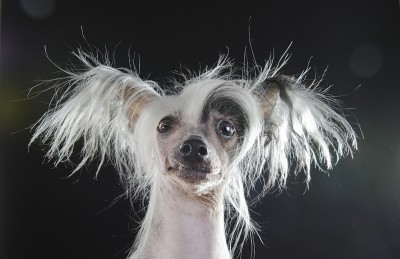 Panda, Chinese Crested (Credits: Sophie Gamand)