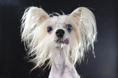 Chinese Crested Dog Sophie Gamand
