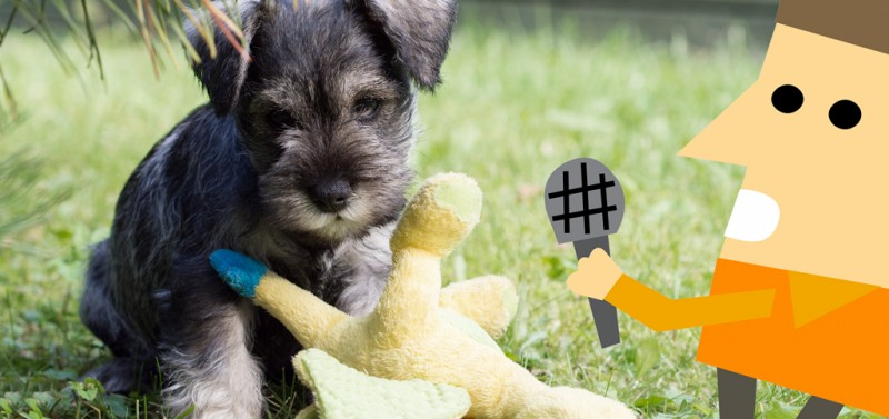 Talks with Miniature Schnauzer breeder: Dr Meg Howe!