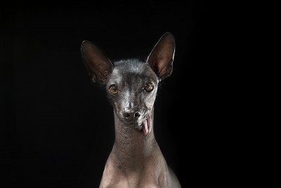 Soozi's Tongue - Hairless Dog