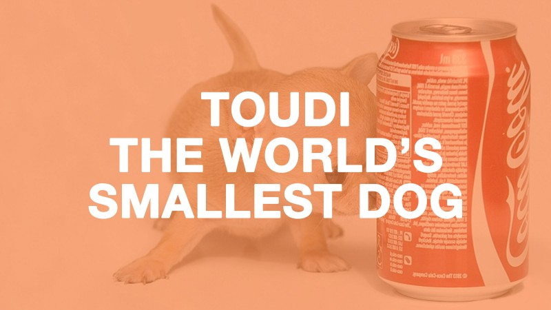 Toudi is just a 12-week old Chihuahua puppy!
