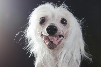 Chinese Crested Dog Sophie