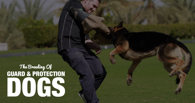 The Breeding & Training of Guard Dogs and Protection Dogs