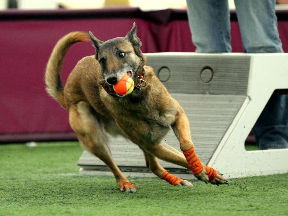 Malinois Dog Competing in Flyball