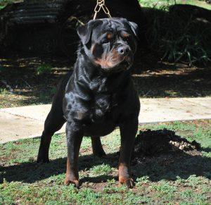 Rottweiler Dog From Von Ruelmann Bob Bolognesi