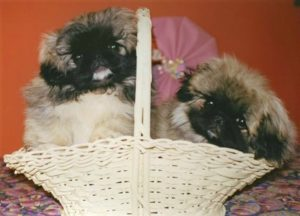 Pekingese puppies from Castlerigg