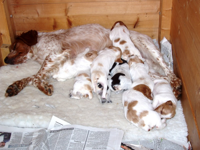 Two-week old Brittany puppies