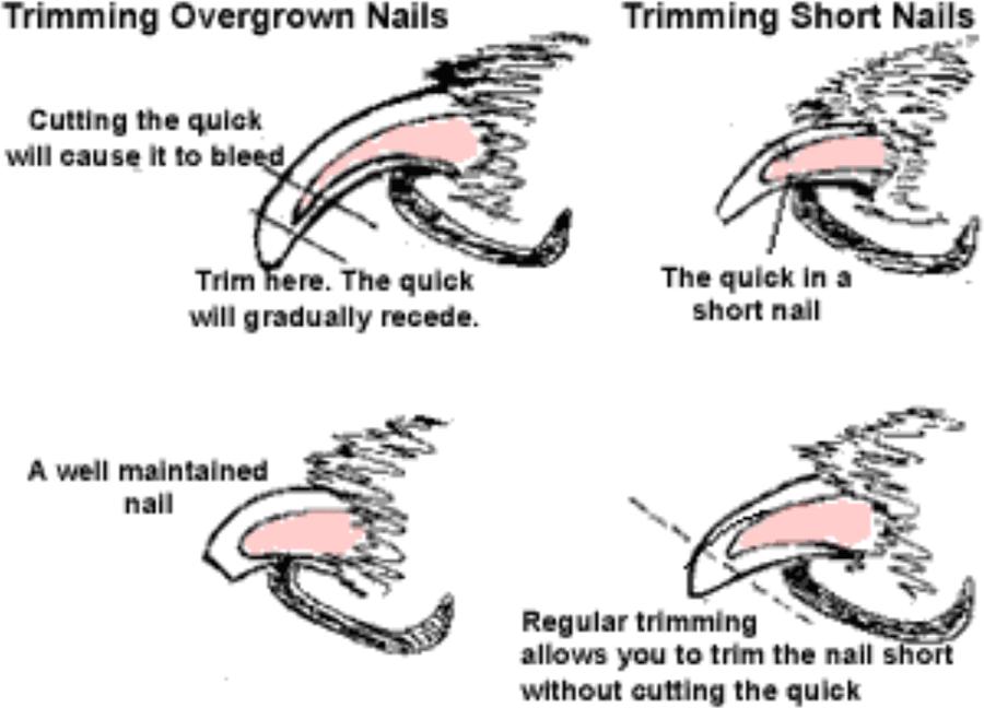 Unique How to Clip Dog Nails   ALTERNATIVAAZAPATERO.ORG