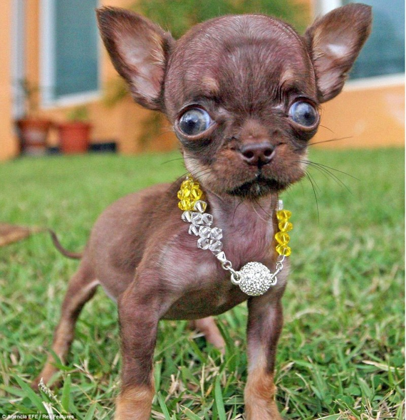 Hydrocephalus And Toy Breed Dogs Chihuahua