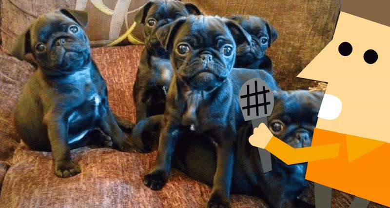7e4ddc1b144 Interview: Nikita from SweetPea Pugs, a modern dog breeder