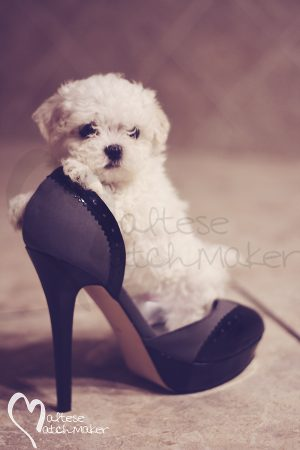 Micro Maltese Dog Breeder Heels