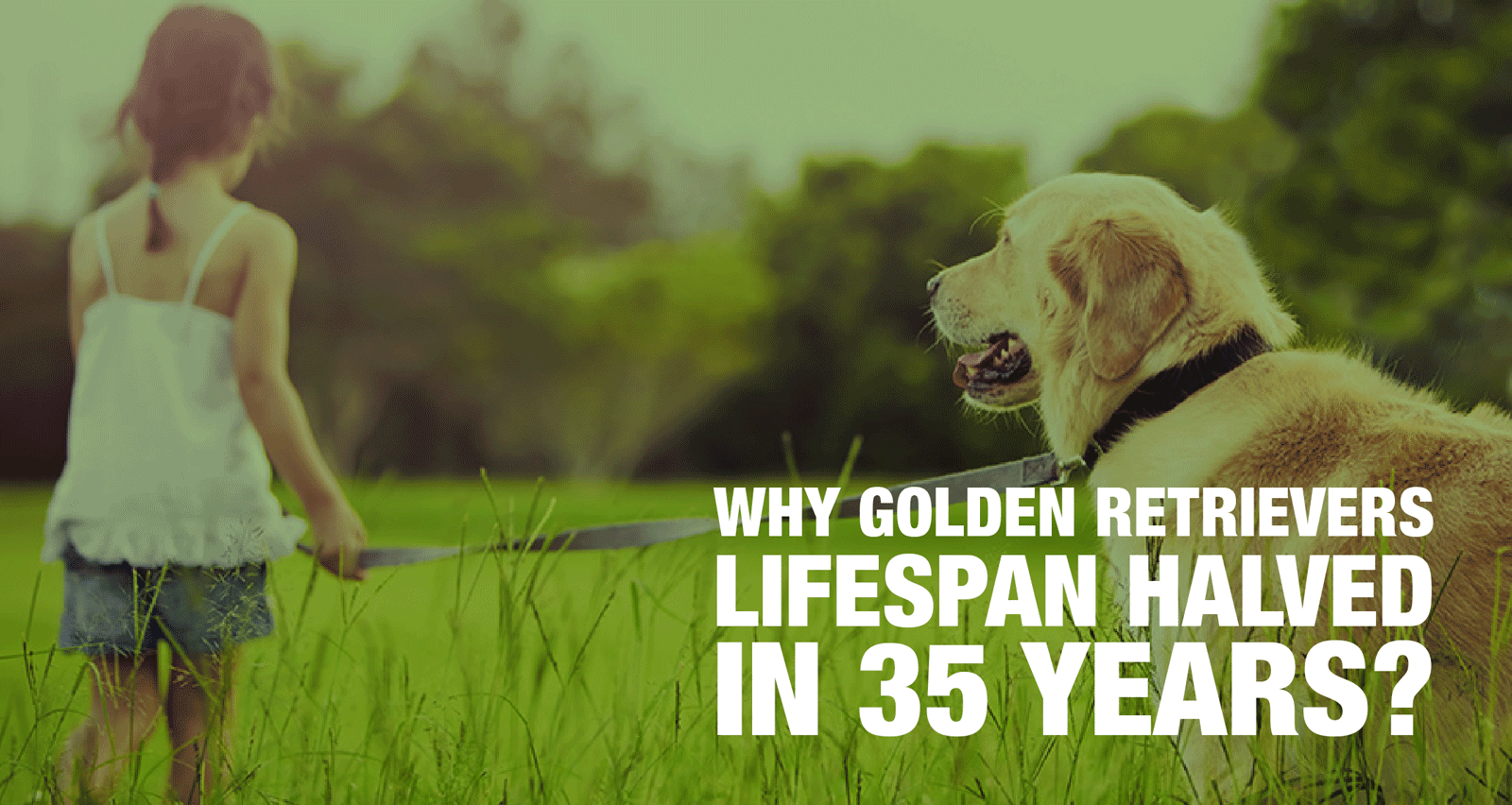 Golden Retriever Lifespan Dropped In 35 Years — Shocking