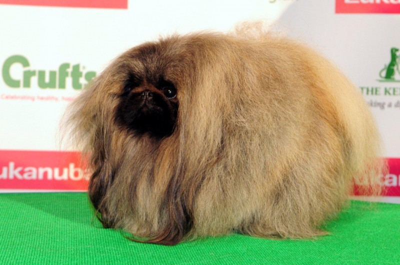 Pekingese at Crufts 2015 Dog Show