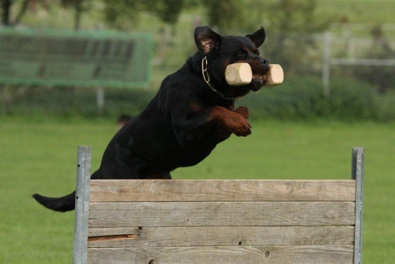 Rottweiler exercising and working.