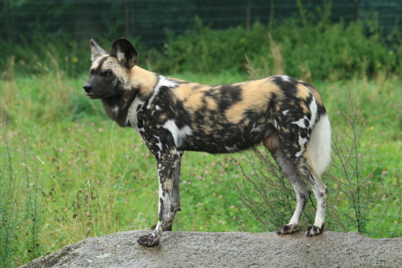 African wild dog - Lycaon pictus pictus