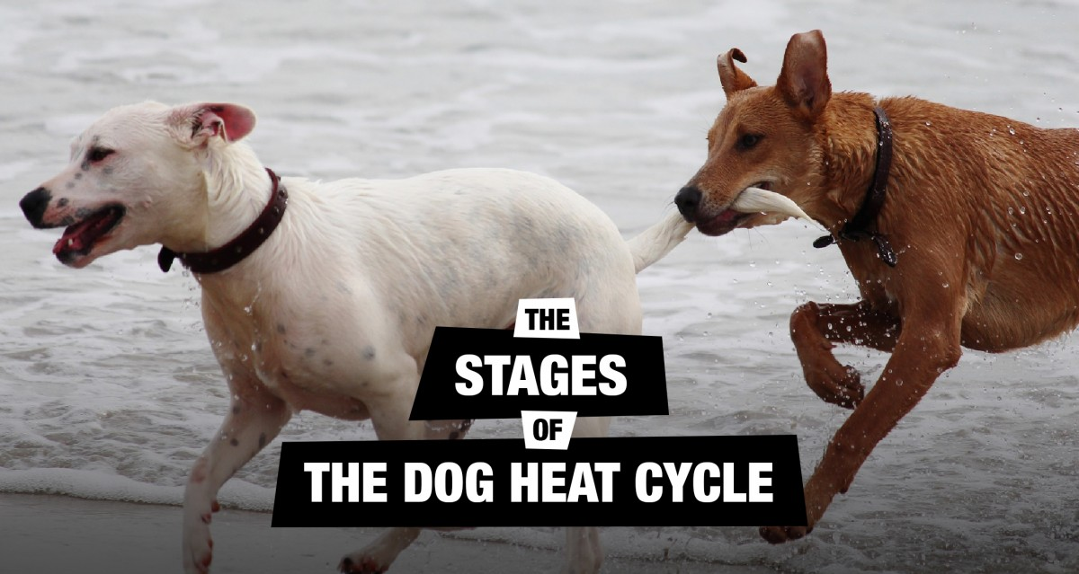 Understanding The Dog Heat Cycle Stages & Signs