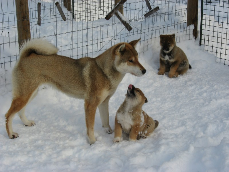 Shikoku Ken Dogs: Puppies & Mother