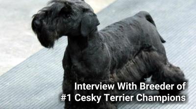 Zlatapraha Cesky Terriers - Breeders of Champions Dogs