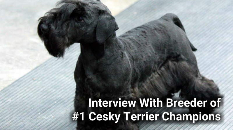 Interviewing Wendy From Zlatapraha Cesky Terriers