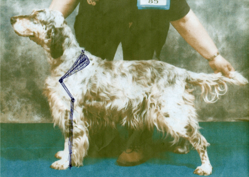 Correct top line and tailset, for this 9 year-old English Setter bitch with excellent shoulder.