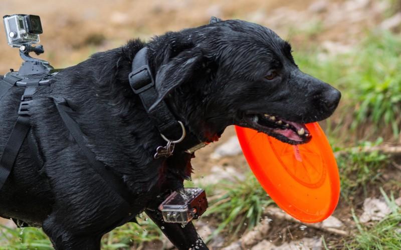gopro dog harness fetch