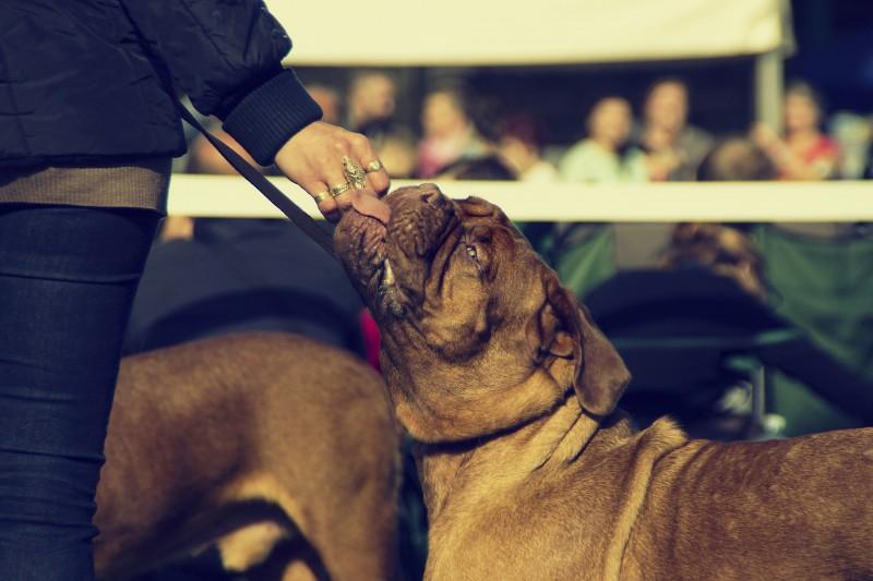 dogue de bordeaux handler at a dog show