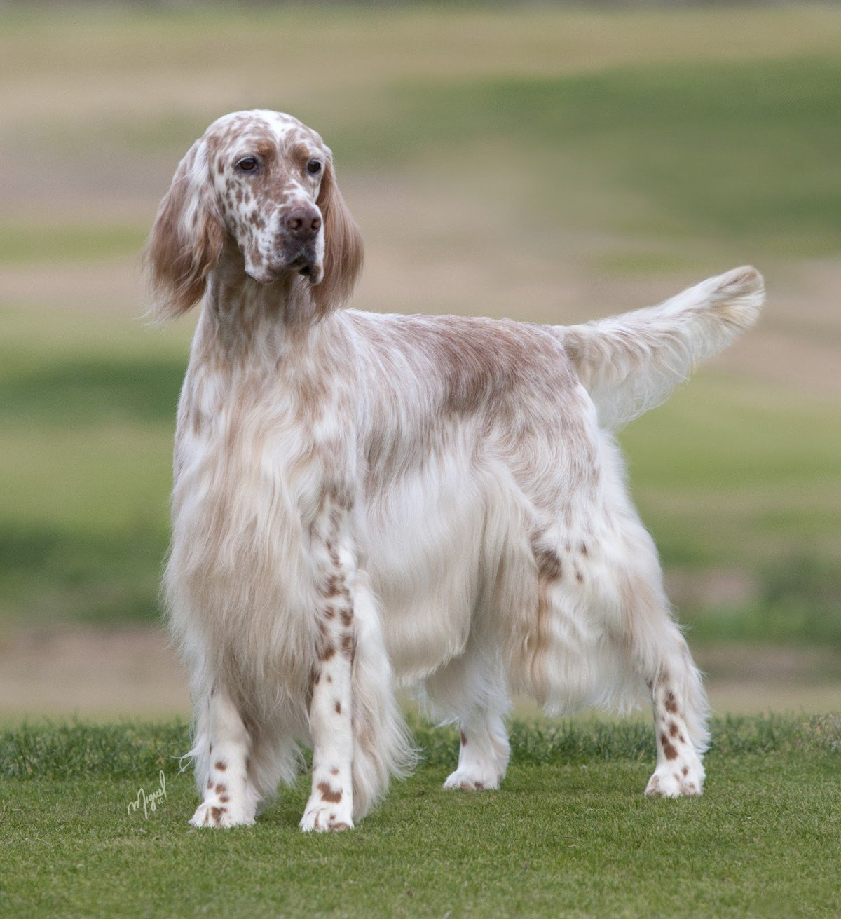english setters show working types. Black Bedroom Furniture Sets. Home Design Ideas