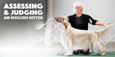 Assessing & Judging An English Setter Dog