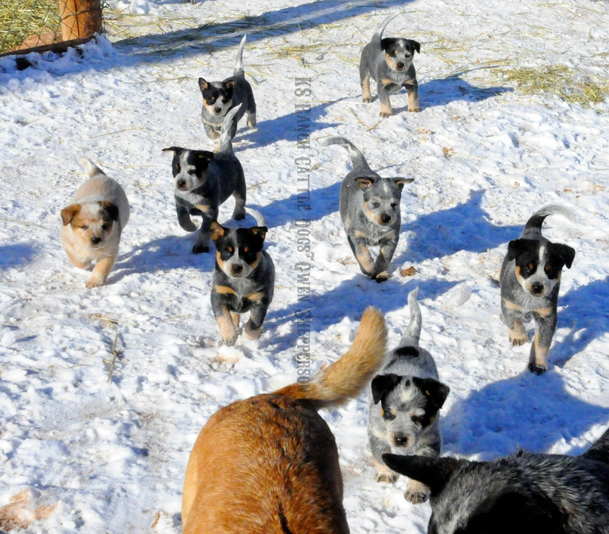 australian cattle dog ks ranch puppies