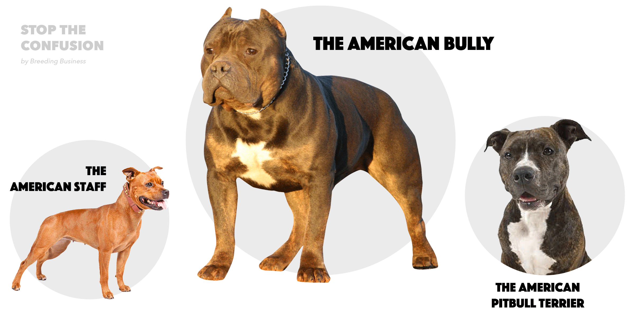 ... Bully is bullier , less terrier than the Staff and the Pitbull