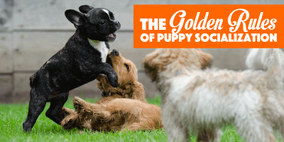 Golden Rules Of Puppy Socialization