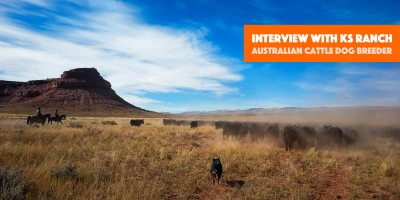 interview with ks ranch australian cattle dog