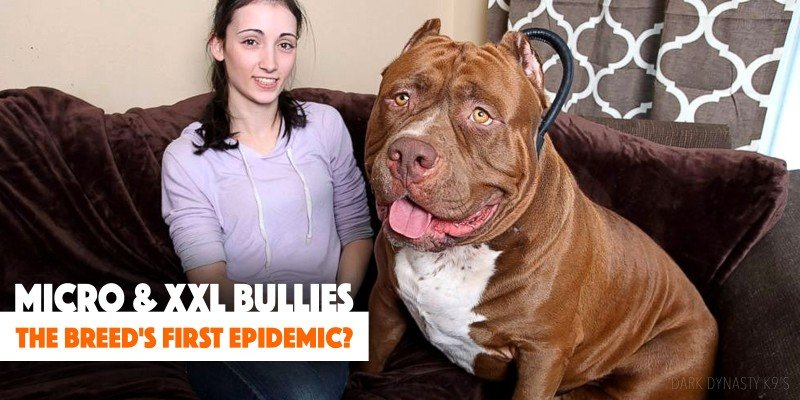 micro & xxl bullies: is this the breed's first epidemics?