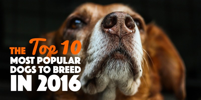 most popular dog breeds in 2016