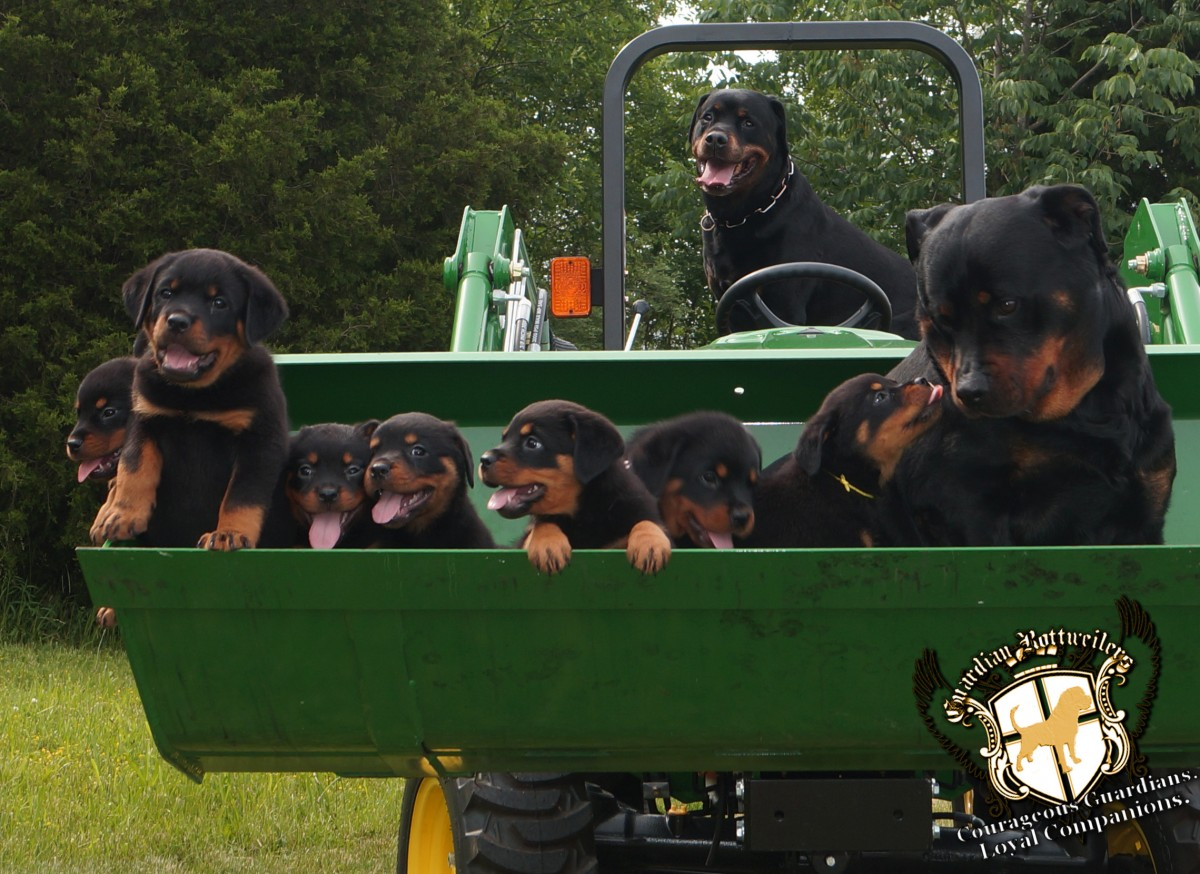 Interview With Alice Breeder From Guardian Rottweilers