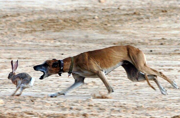 Sloughi / Berber Greyhound / Sloughi Moghrebi