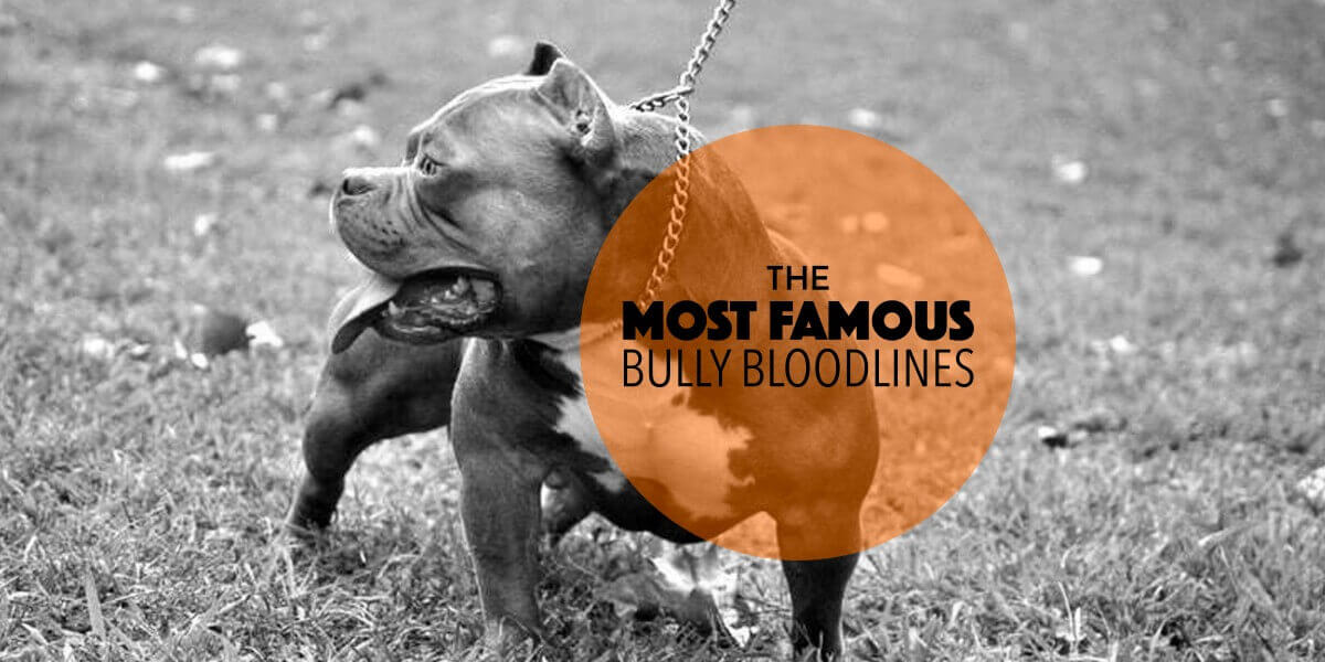 The Most Famous American Bully Breeders Amp Bloodlines