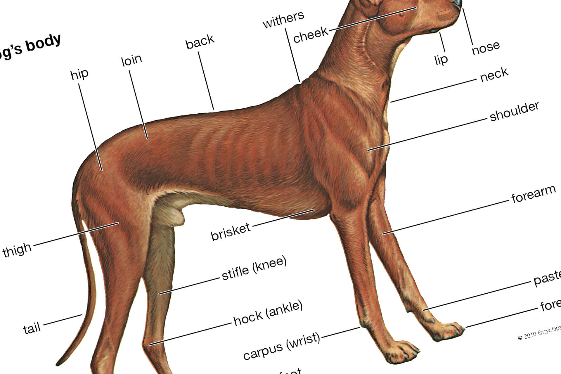 Anatomy Of The Dog — From Muzzle To Tail