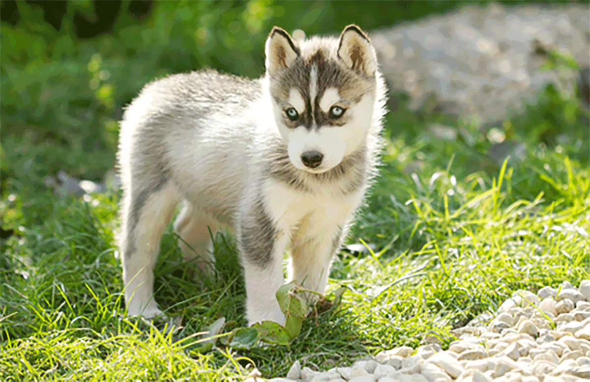 Small Husky Breed Dog Breeds Picture