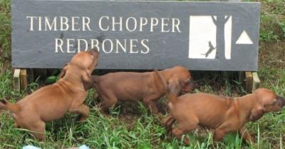 redbone coonhound puppies
