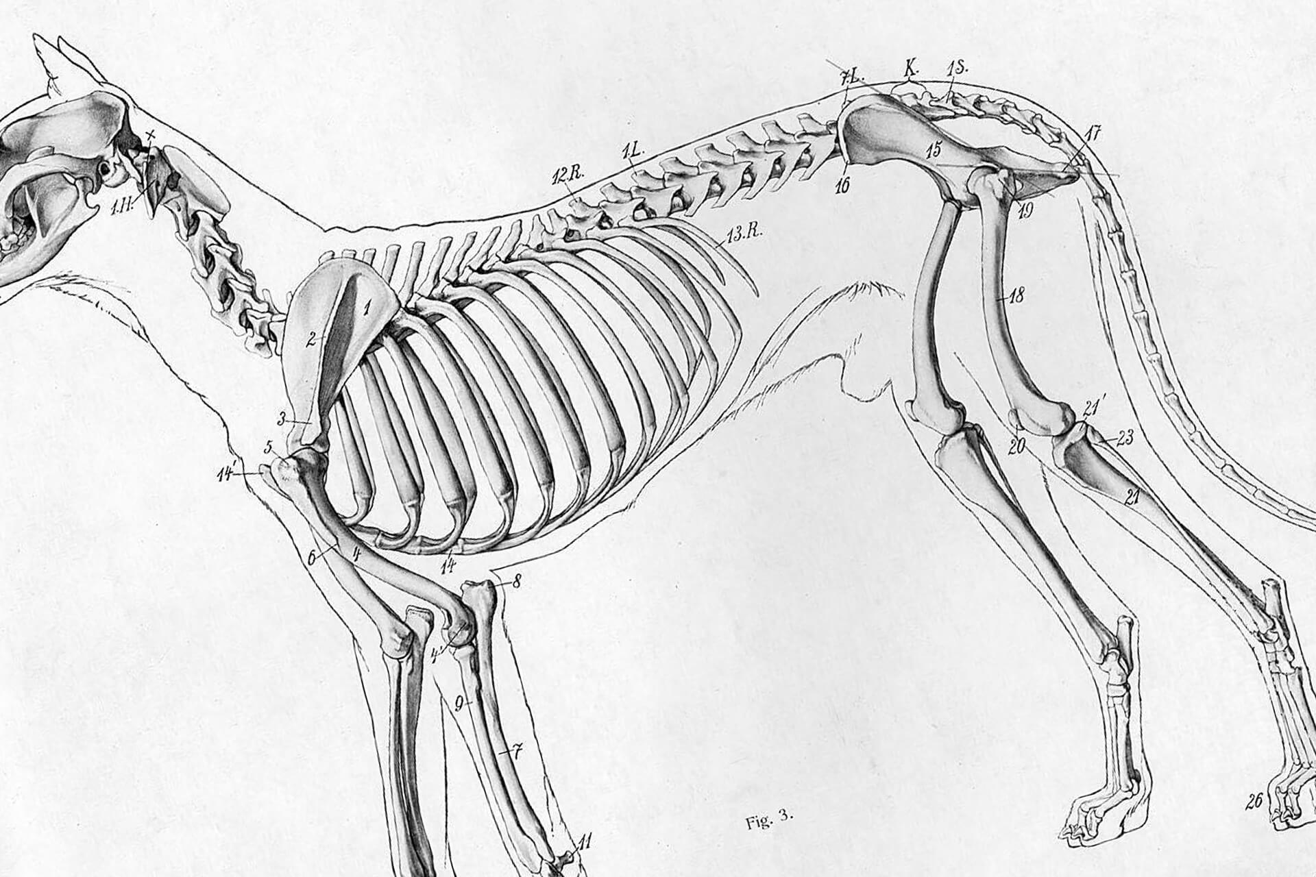 Structure of the dog