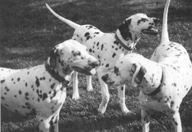 dalmatian backcross project dogs
