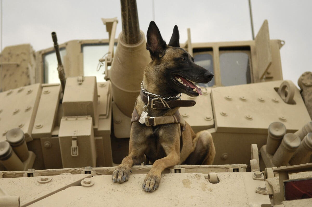 army military dog